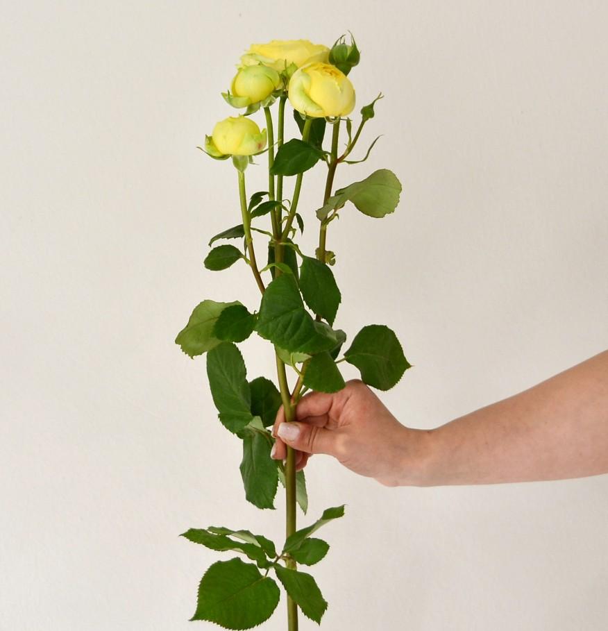 Փնջային վարդեր