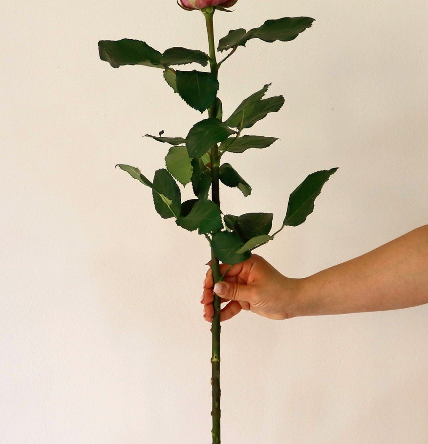 Վարդ Մարիծիմ